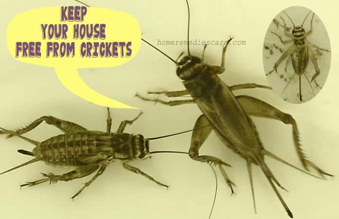 17 Super Easy Home Remedies To Get Rid Of Crickets From