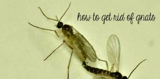 20 Effective Home Remedies on How to Get Rid Of Gnats Infestation