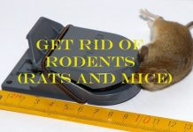 Getting rid of rodents (rats and mice)