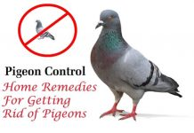 Home Remedies For Getting Rid of Pigeons Fast