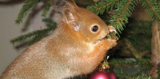 Home Remedies to Getting rid of Squirrels