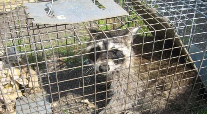 Home Remedies for Raccoons Repellent