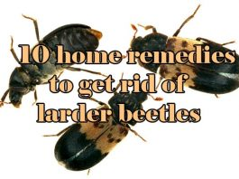 home remedies to get rid of larder beetles