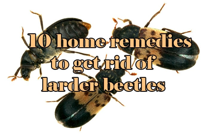 10 Home Remedies To Get Rid Of Larder Beetles Easy