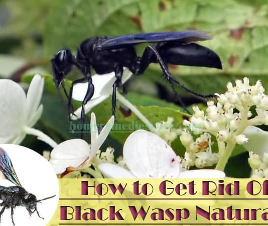 Home Remedies To Get Rid Of Black Wasp Naturally