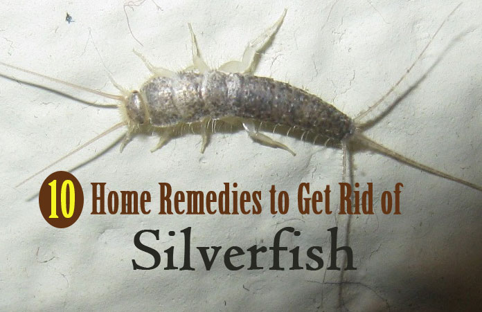 How Can I Get Rid Of Silverfish Naturally