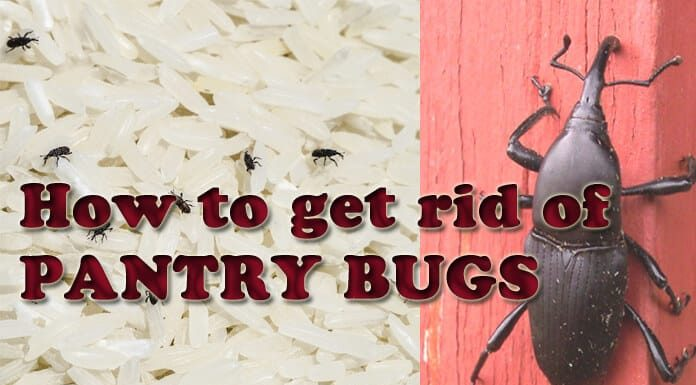 Home Remedies To Get Rid Of Weevils Naturally