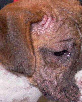 Home Remedies to Treat Mange in Dogs