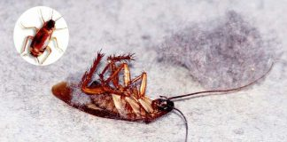 Home remedies to get rid of Roaches Quickly