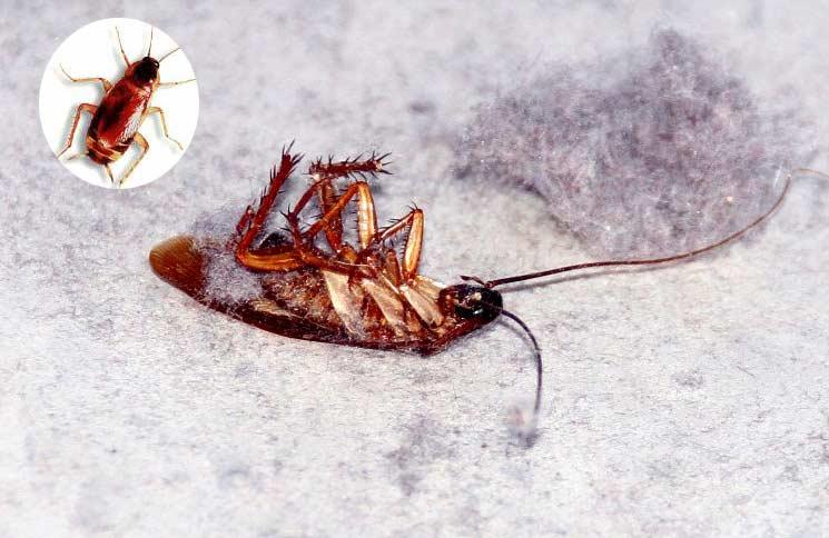 15 Natural Home remedies to Get Rid of Roaches Quickly