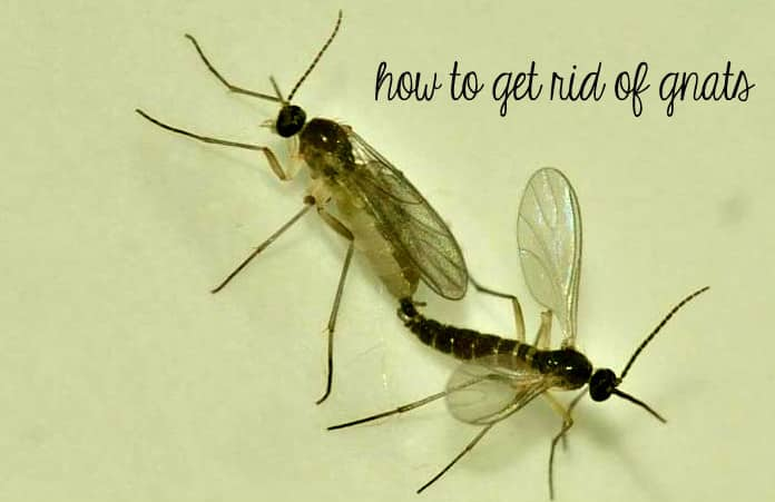 How To Get Rid Of Gnats Inside Naturally