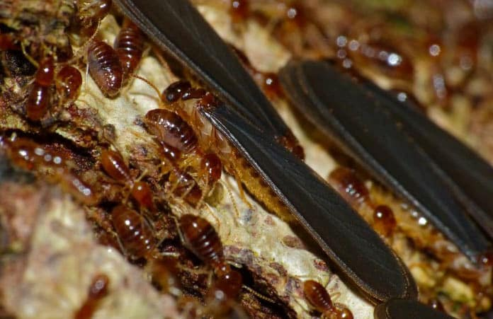 Natural Remedy To Get Rid Of Termites