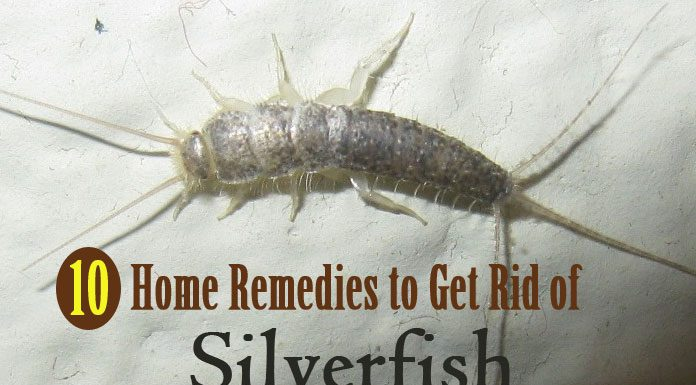 Home Remedies for Getting Rid of Silverfish Naturally