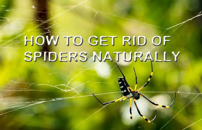 How To Get Rid Of Brown Recluse Spiders Naturally